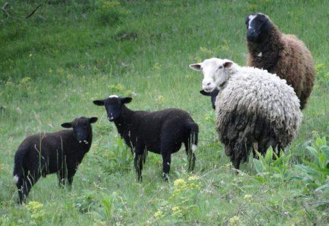 troupeau moutons animaux ferme
