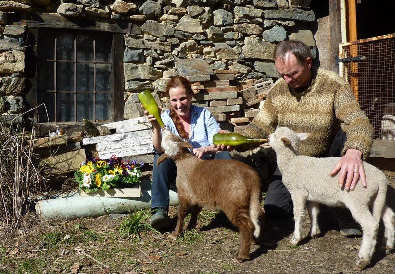moutons agneaux biberon