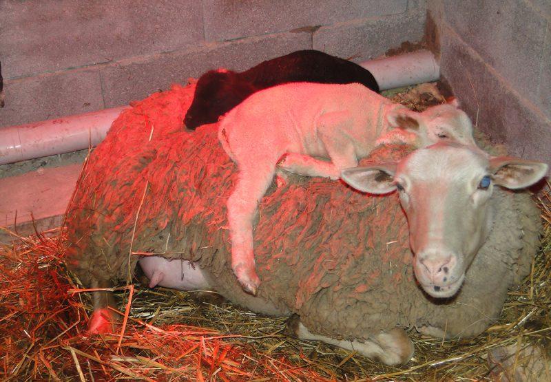 bergerie agneaux tendresse