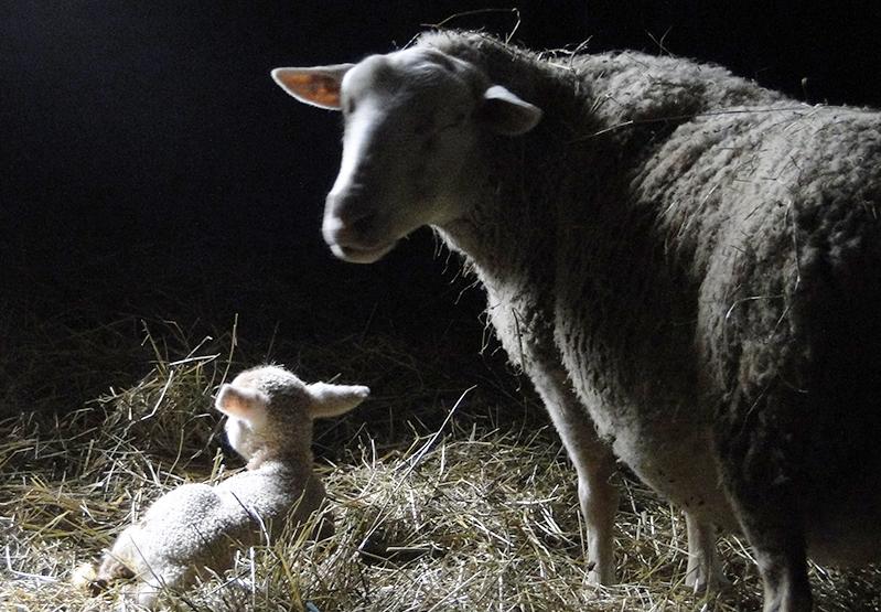 Brebis agneau bergerie ferme