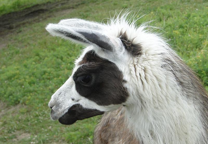 lama jeune élevage domestique